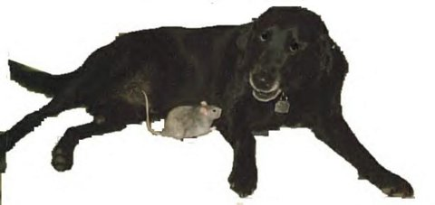 Lancer (our former Black Lab) and Pookie (our former rat) got along well as friends